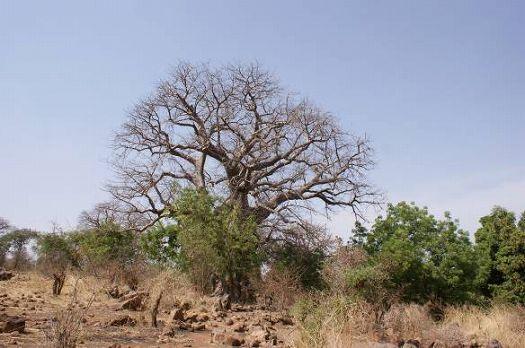 写真5.バオバオの大木