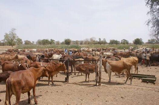 写真6.水のみ場に集まった牛の群れ