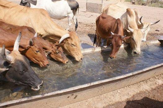 写真7.大量に飲料水を消費する牛